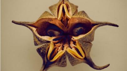 Bofiyu (Esenbeckia cornuta) - Esta espécie ameaçada da família dos cítricos está agora restrita a uma pequena área de floresta seca no norte do Peru, que está sob ameaça de sobrepastoreio. É uma das 100 sementes e frutas que foram especialmente selecionadas do herbário do Jardim Botânico Real de Edimburgo pelo fotógrafo Levon Biss, em colaboração com os botânicos da instituição - para chamar a atenção para as maravilhas dessas pequenas maravilhas naturais