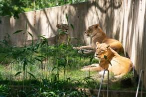 Veterinário afirma que os felinos provavelmente pegaram Covid-19 de um tratador assintomático