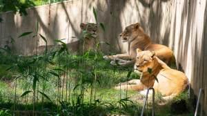 Leões e tigres testam positivo para Covid-19 no Zoológico de Washington, nos EUA