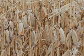 Expectativa atual é que o setor cresça 1,2%, sustentado pelas altas nas produções de soja, arroz e trigo