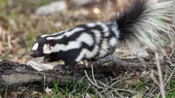 Espécie pode ser encontrada em toda a América do Norte; quando ameaçados, estes pequenos animais se apoiam sobre as patas dianteiras em uma parada de mão digna de atleta