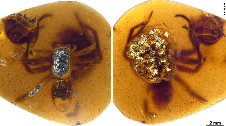 As aranhas fossilizadas em âmbar são a mãe e seus filhotes