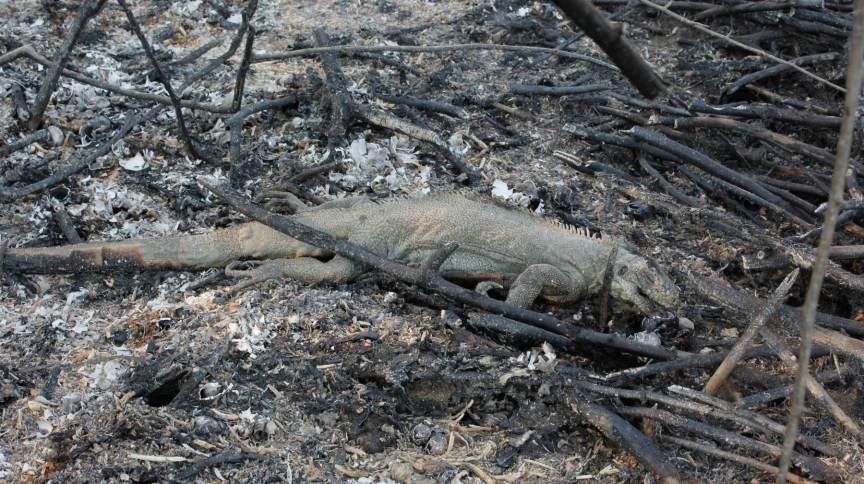 Carcaça de animal morto em incendios florestais entres as cidades de Miranda e Corumbá, no Mato Grosso do Sul