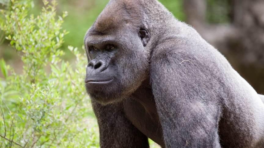 Gorilas são tratados após teste inicial positivo para Covid-19