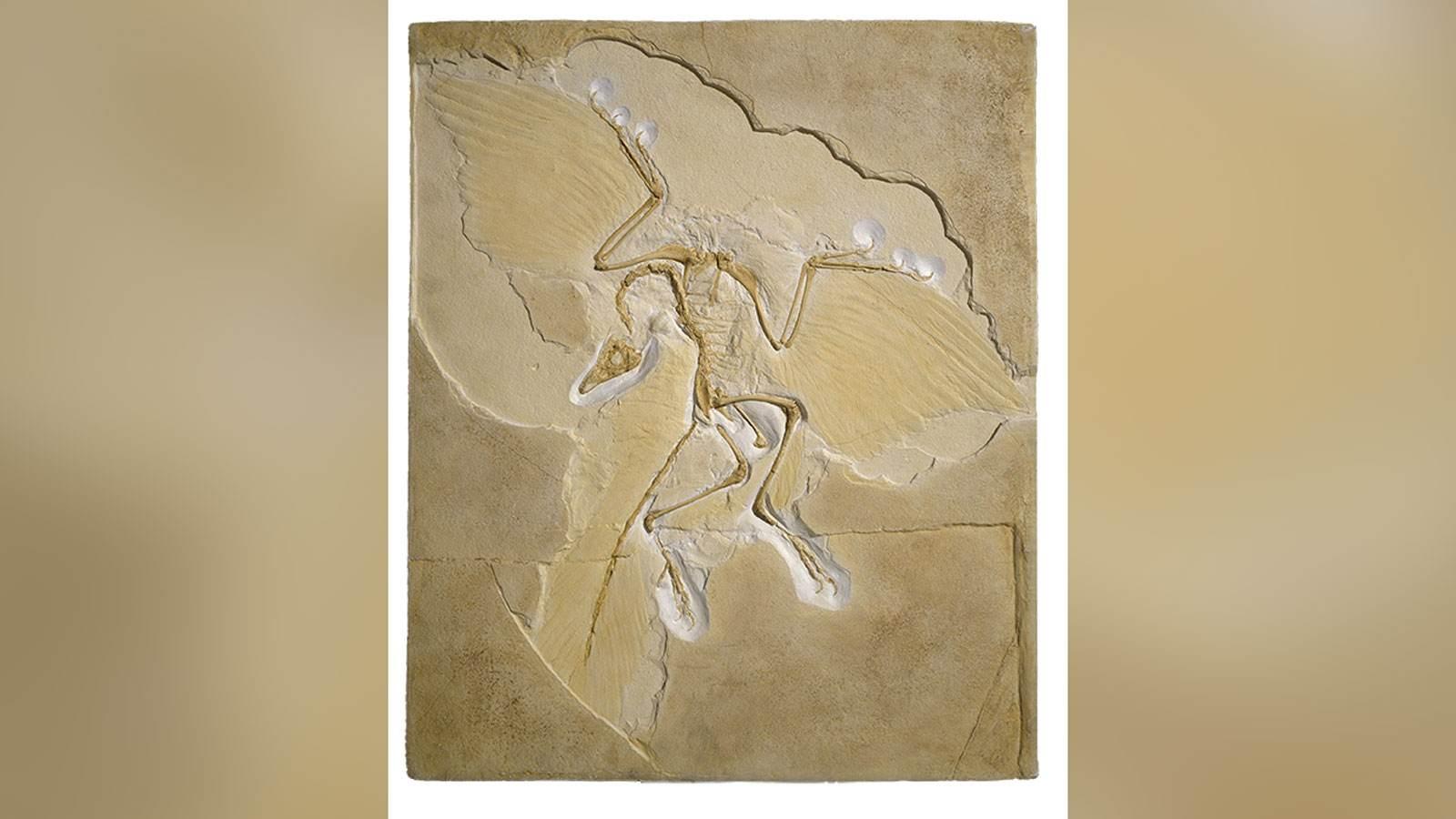 Embora o Archaeopteryx seja considerado a ave mais velha, ele não tem um esterno, algo que deixa os cientistas perplexos