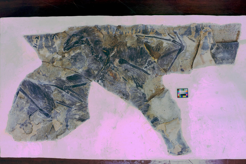 Fóssil mostra Yi qi, um planador que não sobreviveu à extinção dos dinossauros