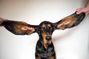 Cão orelhudo e animais de patinete; os recordes mais curiosos do Guinness 2022