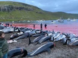 Grupo de preservação marinha Sea Shepherd diz que 1.428 animais foram assassinados em massacre 'brutal e mal manejado'; porta-voz do governo diz que ação obedeceu leis locais