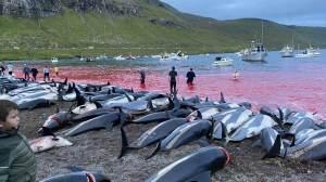 Morte de 1.400 golfinhos nas Ilhas Faroe choca até defensores de caça tradicional