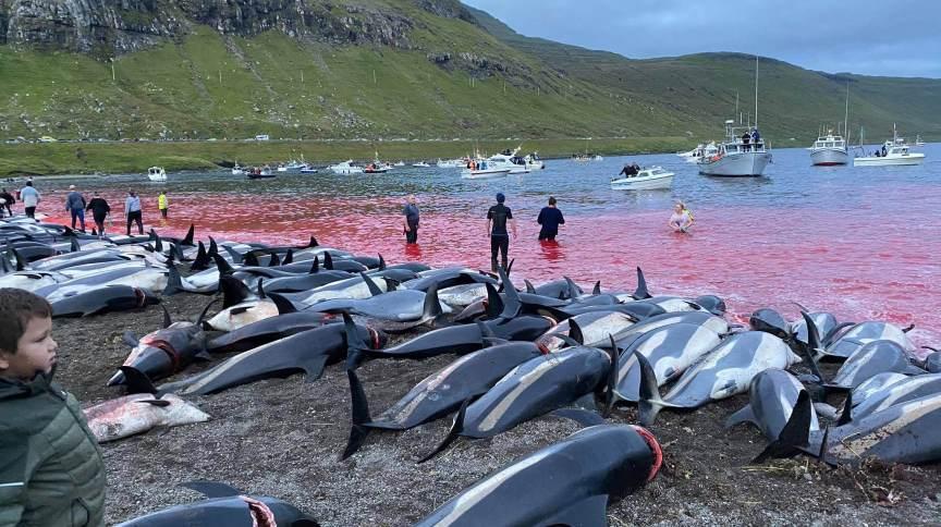 Mais de 1,4 mil golfinhos foram mortos no domingo (12), nas Ilhas Faroe