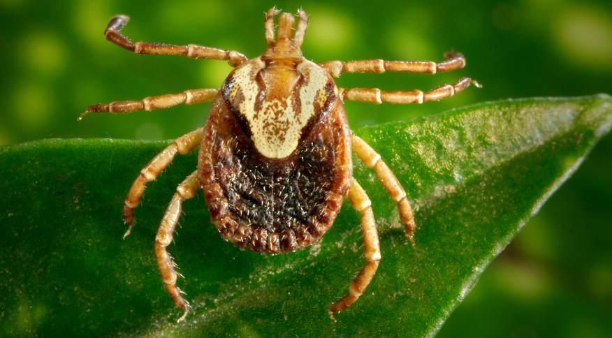 Carrapato-estrela (Amblyomma cajennense) transmissor da febre maculosa