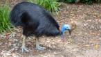 Pássaro mais perigoso do mundo foi criado por humanos há 18 mil anos, diz estudo