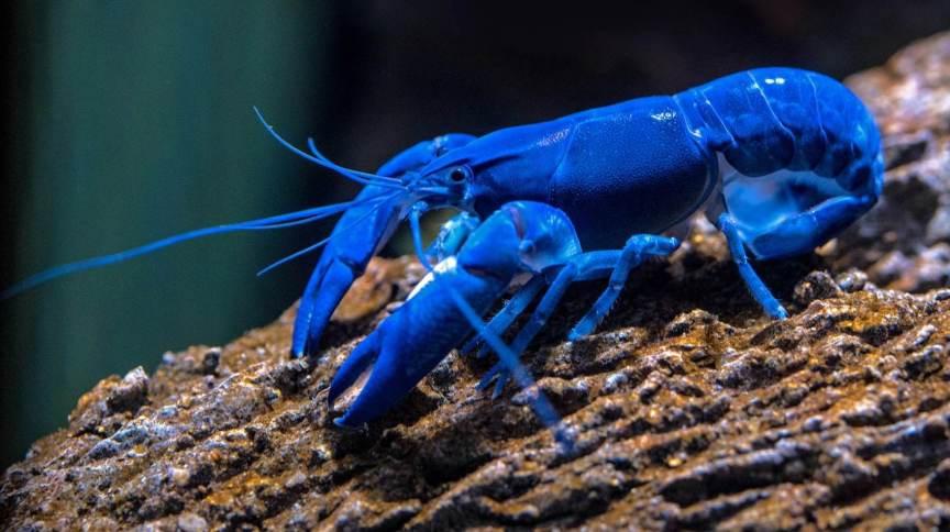 Lagosta azul em aquário do Cairns Aquarium, na Austrália