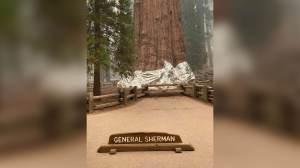 Contra incêndios, maior árvore do mundo é embrulhada com papel alumínio nos EUA