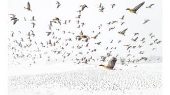 """Vencedor do """"Drone Photo Awards 2021"""" é uma imagem de milhares de gansos de pés cor-de-rosa voando sobre um solo nevado"""