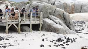 Enxame de abelhas mata 63 pinguins ameaçados de extinção na África do Sul