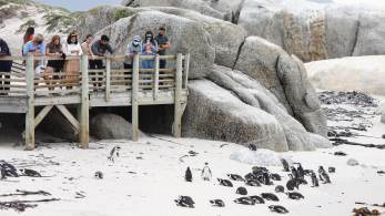 Veterinário disse que picadas de abelha foram encontradas ao redor dos olhos dos pinguins mortos
