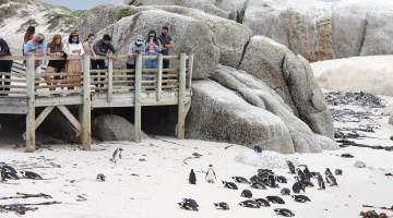 ***ESSA FOTO SÓ PODE SER USADA NESTA MATÉRIA*** Esses animais estão entre as espécies de pinguins menores, conhecidas por suas marcas irregulares e vozes altas.