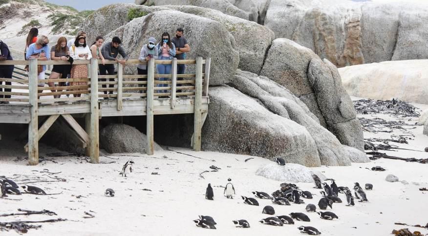 Esses animais estão entre as espécies de pinguins menores, conhecidas por suas marcas irregulares e vozes altas.