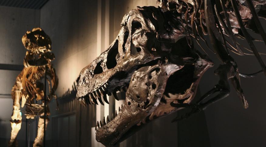 Mandíbula inferior do T. rex é cheia de buracos. Especialistas acreditam que foram o resultado de uma infecção parasitária