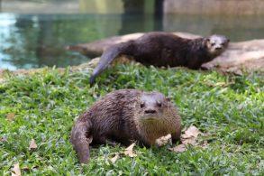 Eduardo e Mônica foram os nomes escolhidos para batizar as lontras recém-chegadas ao BioParque