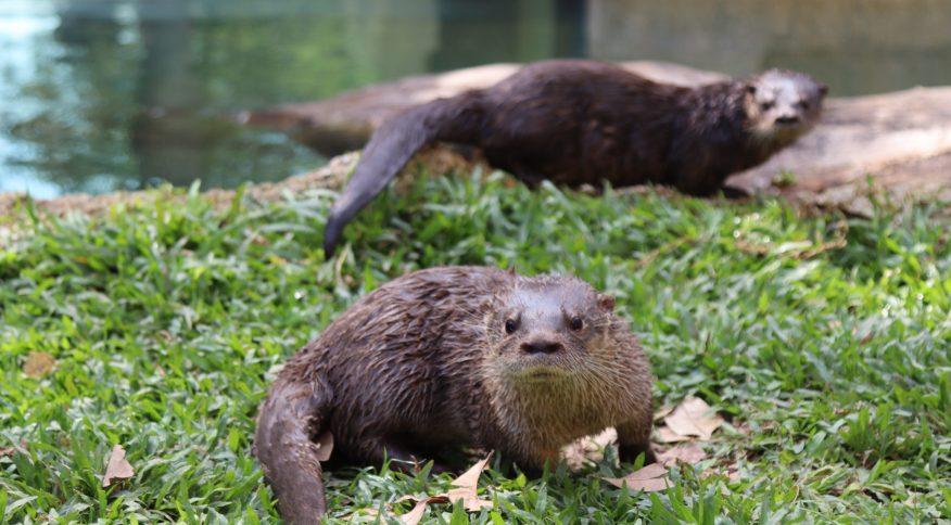 Lontras recebem nome de Eduardo e Mônica
