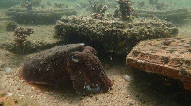 Ladrilhos de argila podem ajudar restauração de corais