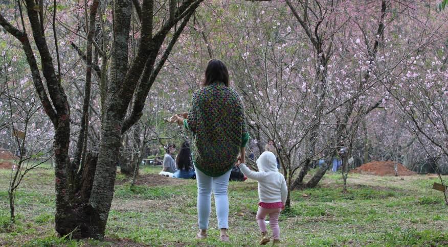 Início da floração das cerejeiras no Parque do Carmo, zona Leste de São Paulo