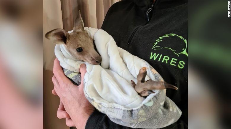Filhote de canguru encontrado ferido