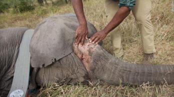 Dados e análises de vídeos antigos descobriram que a proporção de elefantes fêmeas sem presas aumentou mais do que três vezes entre 1972 e 2000