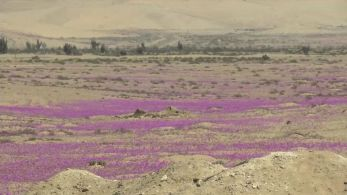 Fenômeno acontece durante a primavera; quantidade de flores que nascem no deserto depende do quanto chove na região durante o inverno