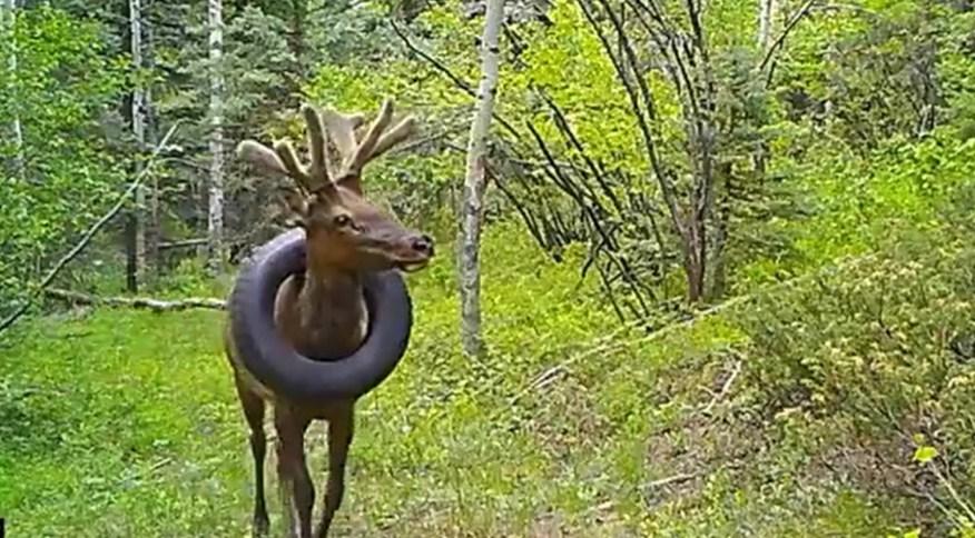 Câmera de vigilância na floresta mostra animal com pneu em volta do pescoço
