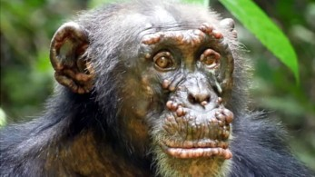 Ao examinar imagens de chimpanzés, pesquisadores encontraram lesões graves semelhantes às da hanseníase em alguns deles