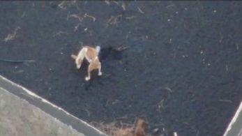 Os três cães estão presos há semanas em um quintal abandonado coberto de cinzas vulcânicas na ilha de La Palma