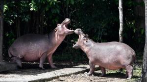 Colômbia injeta anticoncepcionais em hipopótamos de Pablo Escobar