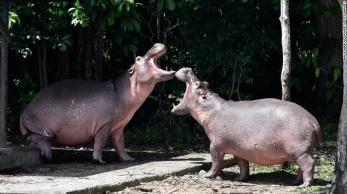 Animais trazidos pelo traficante para seu zoológico particular criaram problema grave para a biodiversidade colombiana