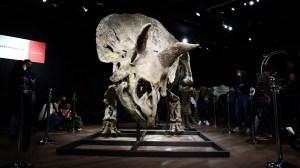 """""""Big John"""", o maior tricerátope conhecido, é leiloado por R$ 43,6 milhões"""