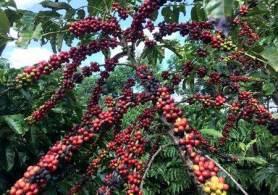 O café robusta para novembro fechou em alta de US$ 21 ou 1,1%, em US$ 1.994 a tonelada, após atingir US$ 1.996 anteriormente, a máxima desde outubro de 2017