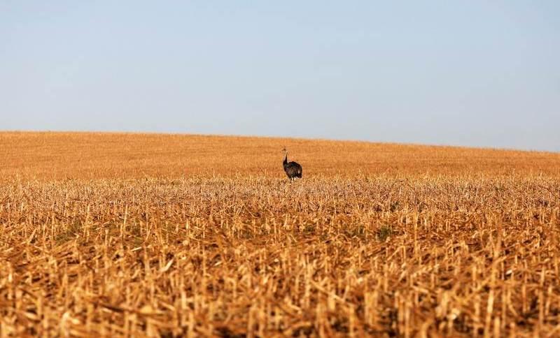 Avestruz em lavoura de milho perto de Lucas do Rio Verde, no Mato Grosso