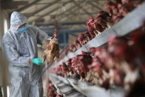 Gripe aviária na China evidencia o risco de mutações, dizem especialistas