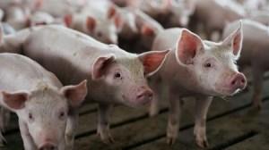 Ministério da Agricultura da China espera que preços de suínos continuem em queda